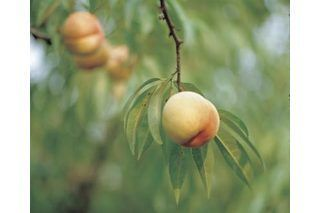 to Grow Fruit Trees in North Carolina How to Grow Fruit Trees in North Carolina   eHowHow to Grow Fruit Trees in North Carolina   eHow