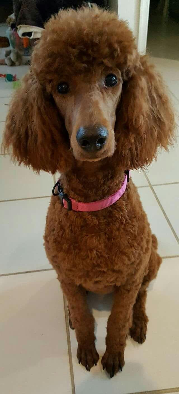 Pin On Poodles
