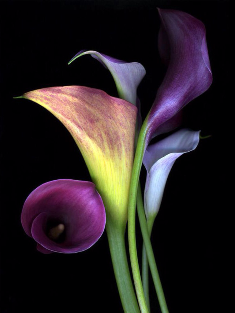 Calla lilies callas are large flowers with solitary 6 to 8 inch calla lilies callas are large flowers with solitary 6 to 8 inch flower heads izmirmasajfo Images