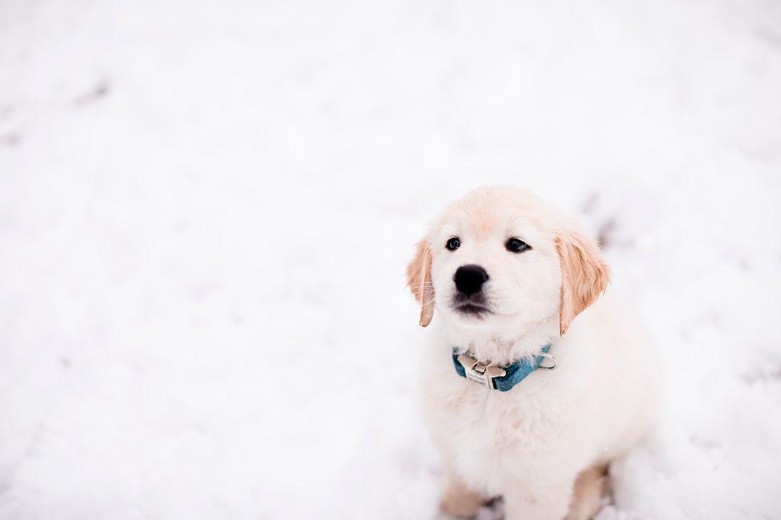 Baby Golden Retriever In The Snow Golden Retriever Baby Golden