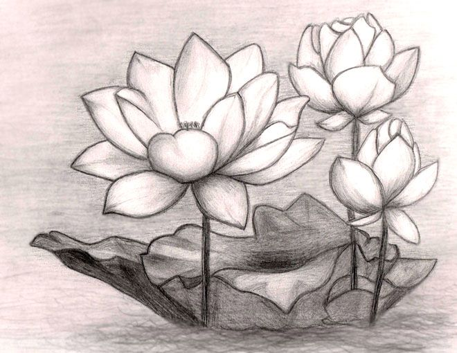 45 Beautiful Flower Drawings And Realistic Color Pencil Drawings Pencil Drawings Of Flowers Lotus Flower Drawing Flower Sketches