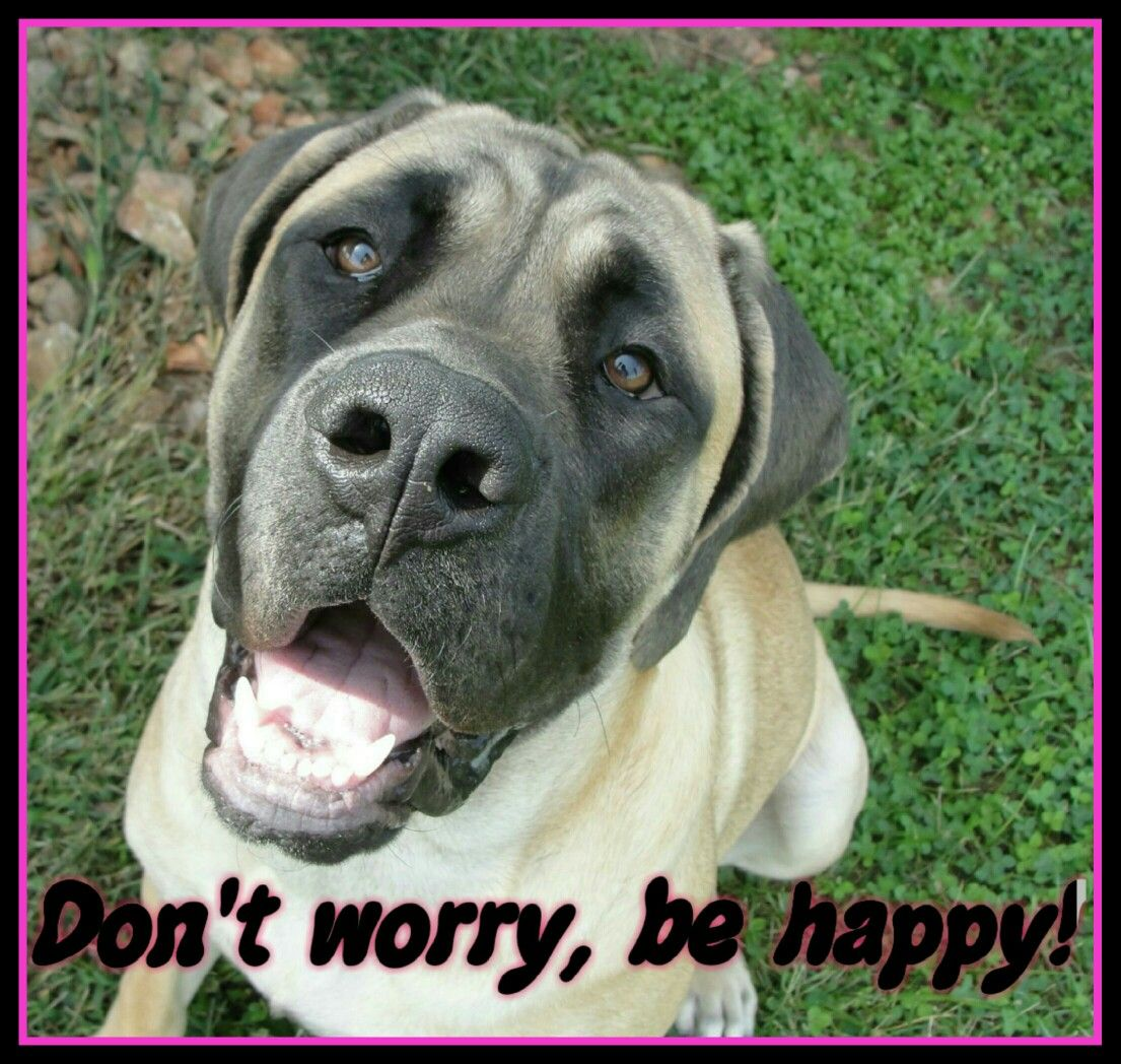 DON'T WORRY, BE HAPPY #mastiff #englishmastiff #bigdog #gentlegiant  #mastiff_happy #dog (With images) | Dog lovers, Pets, Big dogs