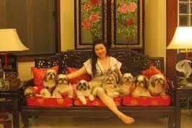 Best Shih Tzu S Puppies For Sale In Hyderabad Shih Tzu Shih