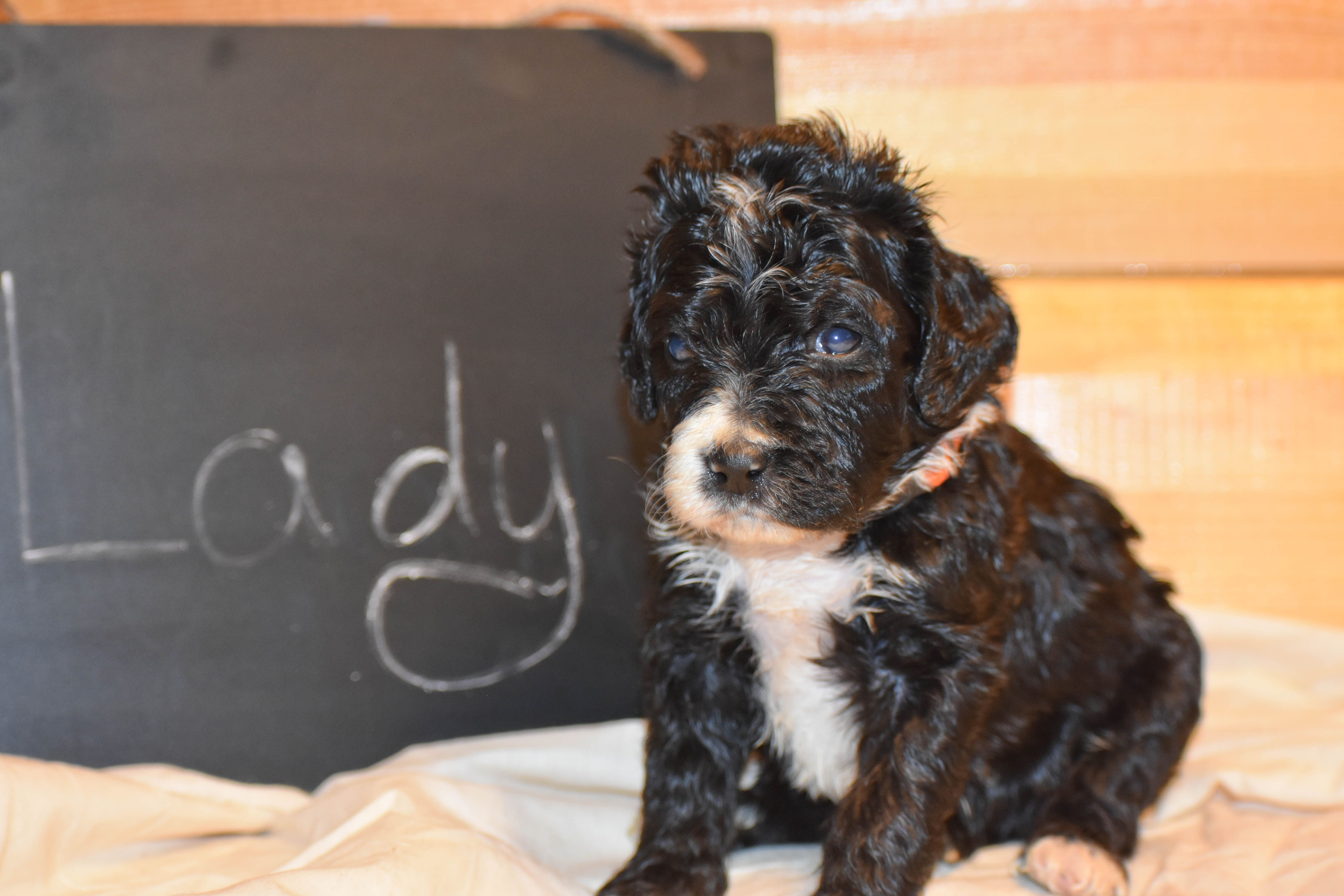 Lady A Female Bernedoodle Puppy For Sale Born In Flora Illinois