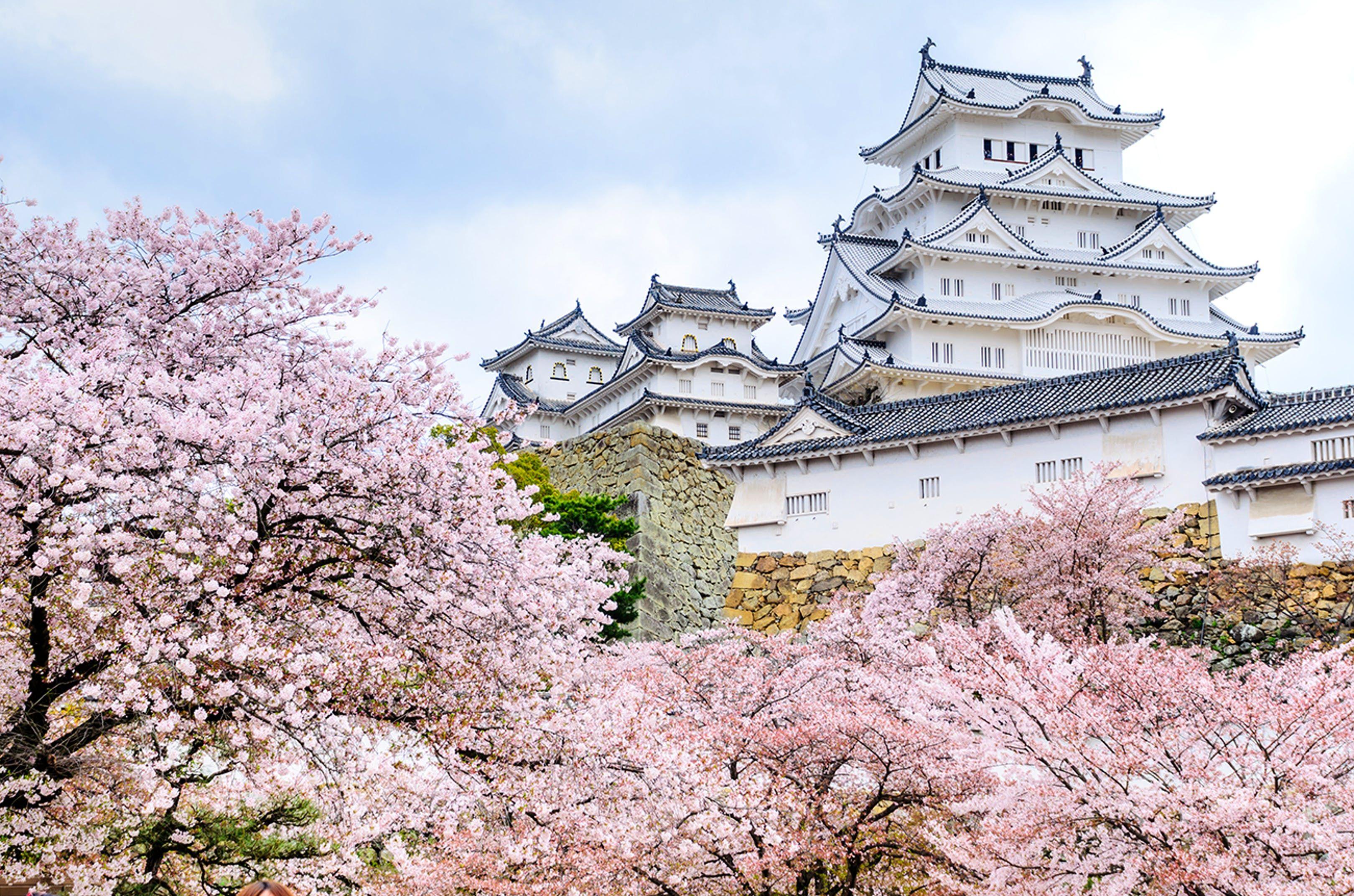 The Everything Guide To Cherry Blossom Season In Japan Cherry Blossom Season Cherry Blossom Japan Cherry Blossom Festival