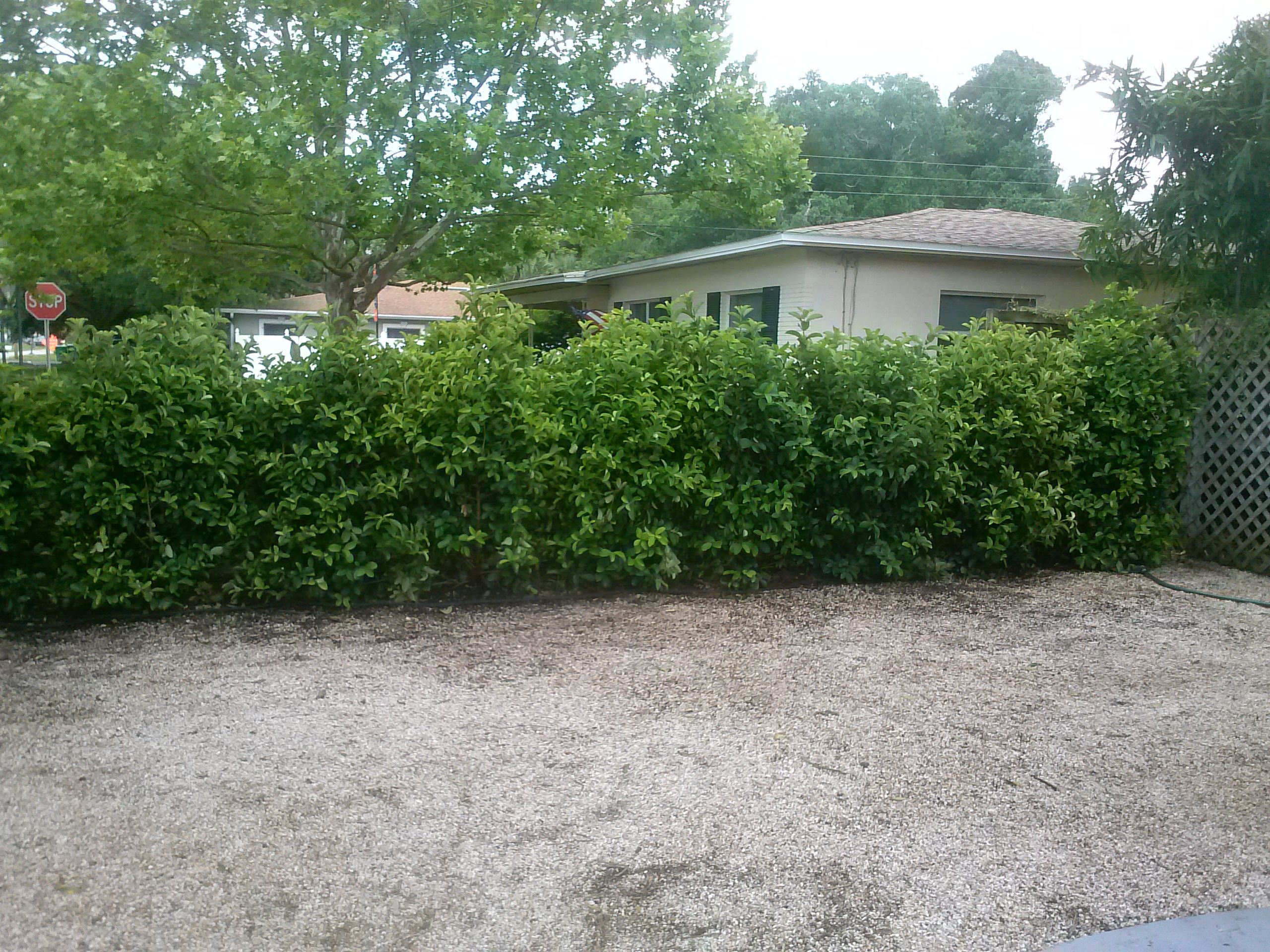 Using large Viburnum, 30 gallon size, to create an instant privacy ...