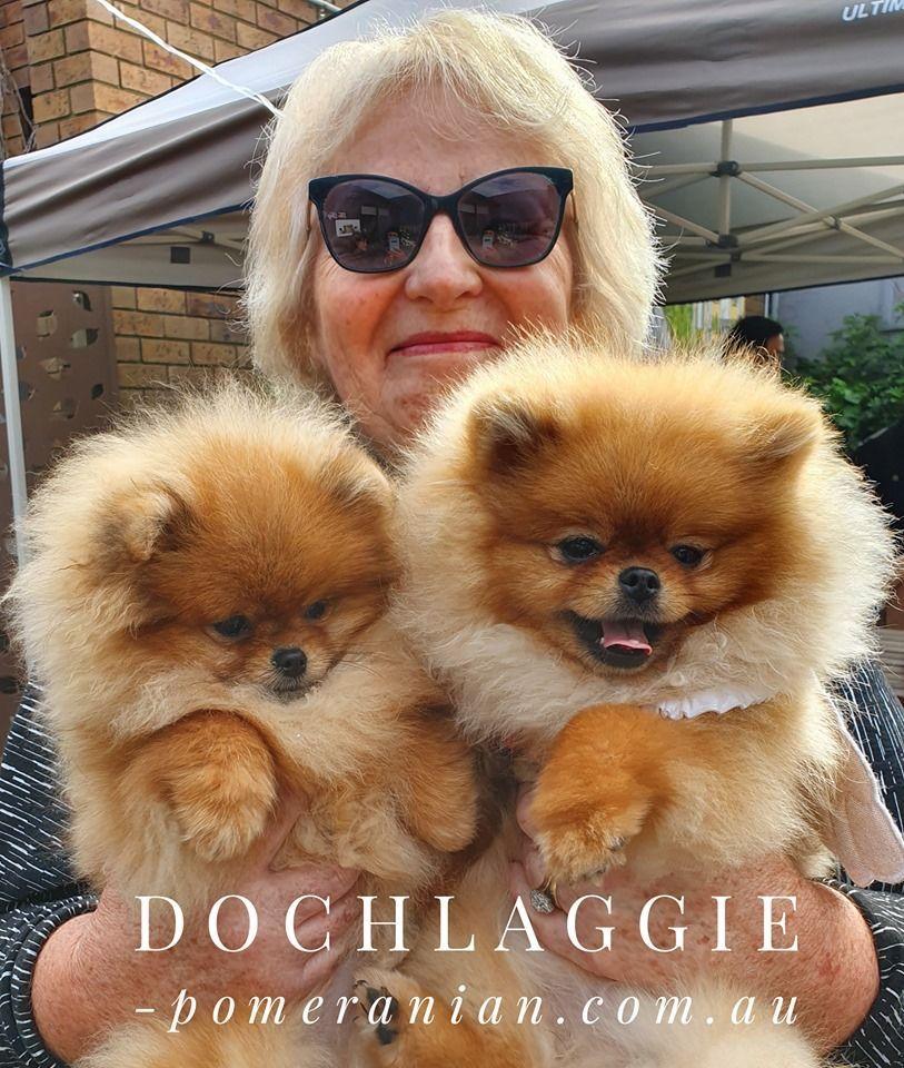 Dochlaggie Pomeranian Puppies Melbourne Dochlaggie Pomeranian