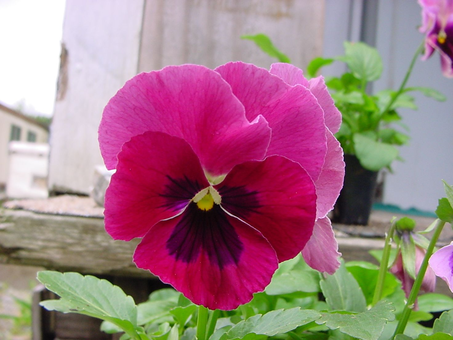 Pin By Mazi Grace On Pretty In Pink Pretty In Pink Pansies Rose Color