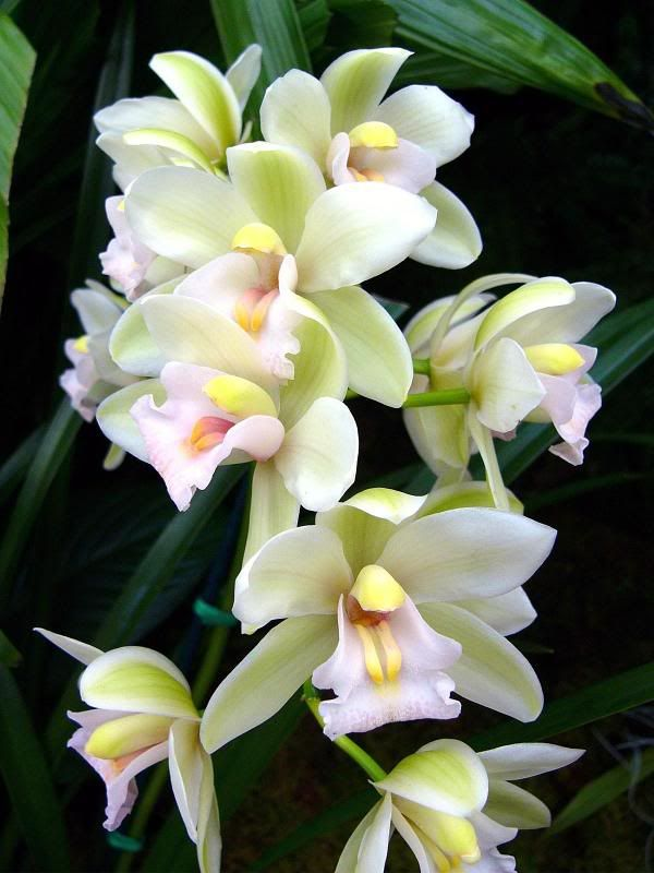 Orchid Cymbidium Sleeping Angel Beautiful Orchids Orchid Flower Orchids
