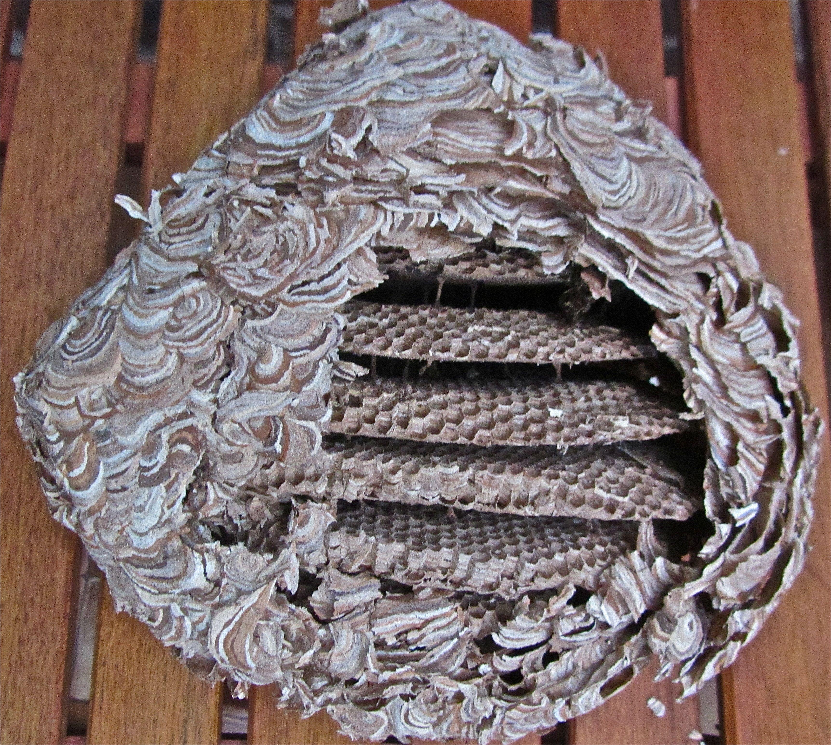 a wasp nest found in our loft natur pinterest insekten. Black Bedroom Furniture Sets. Home Design Ideas