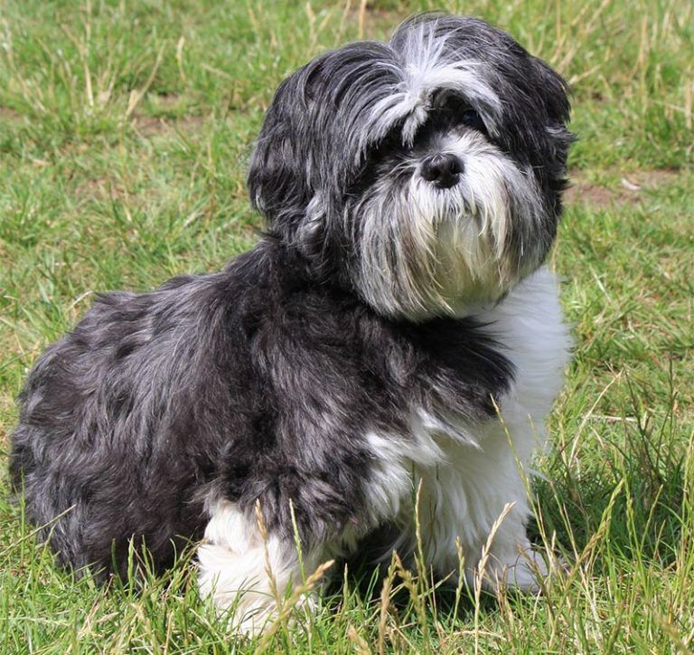 Best Dog Food For Shih Tzu Puppies Adults And Senior Dogs Shih