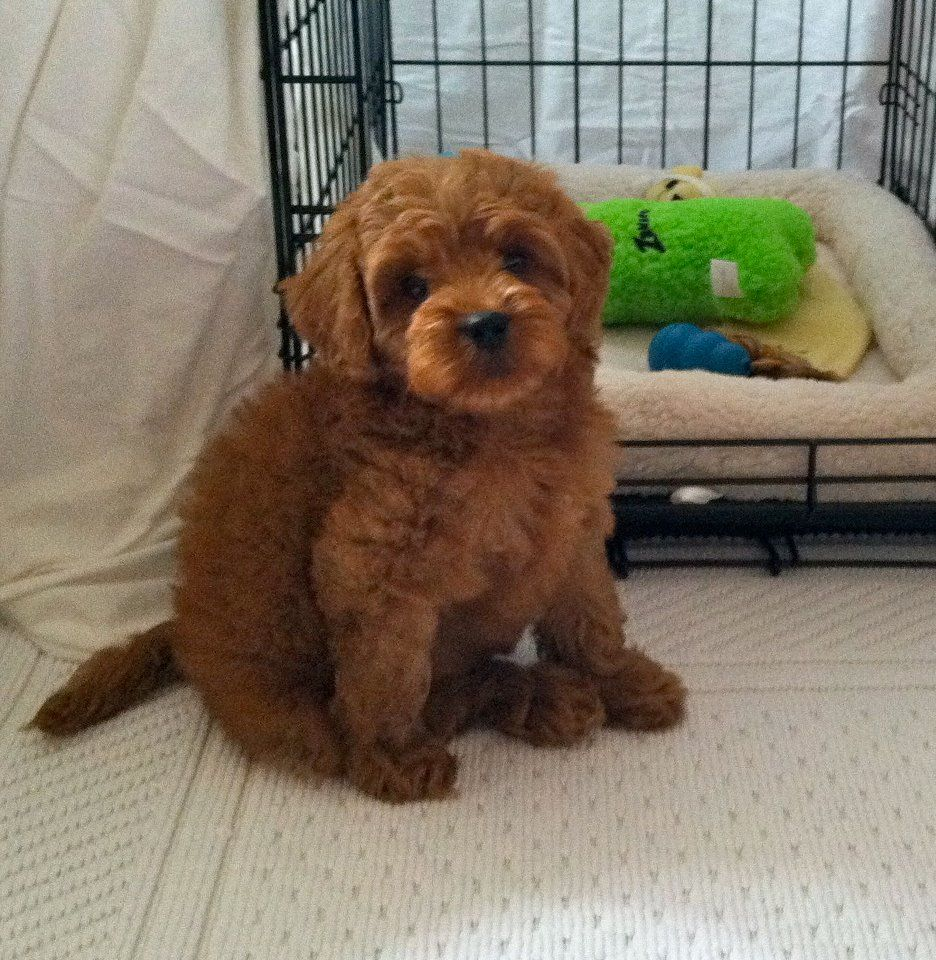 Sweet Eli At This New Forever Home Doodles Labradoodles Halesdoodles Labradoodle Pampered Pooch Pooch