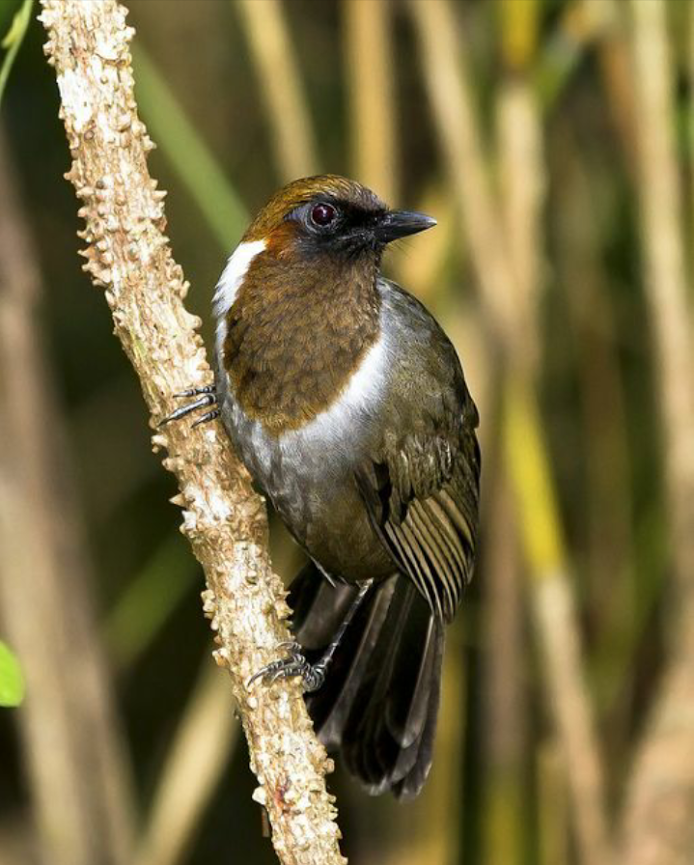 Birds in Thailand: White necked Laughingthrush