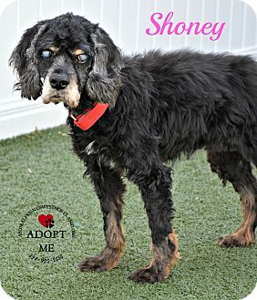 Cocker Spaniel Mix Dog for adoption in Youngwood, Pennsylvania - Shoney