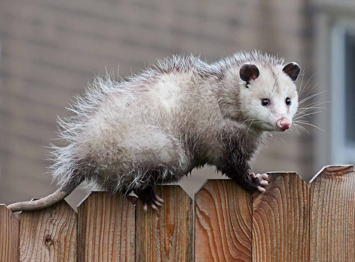 If You Hear Strange Noises From Your Attic In The Middle Of The Night A Wild Animal May Have Invaded Your Home These Animals Ca In 2020 Animals Wild Wildlife Animals