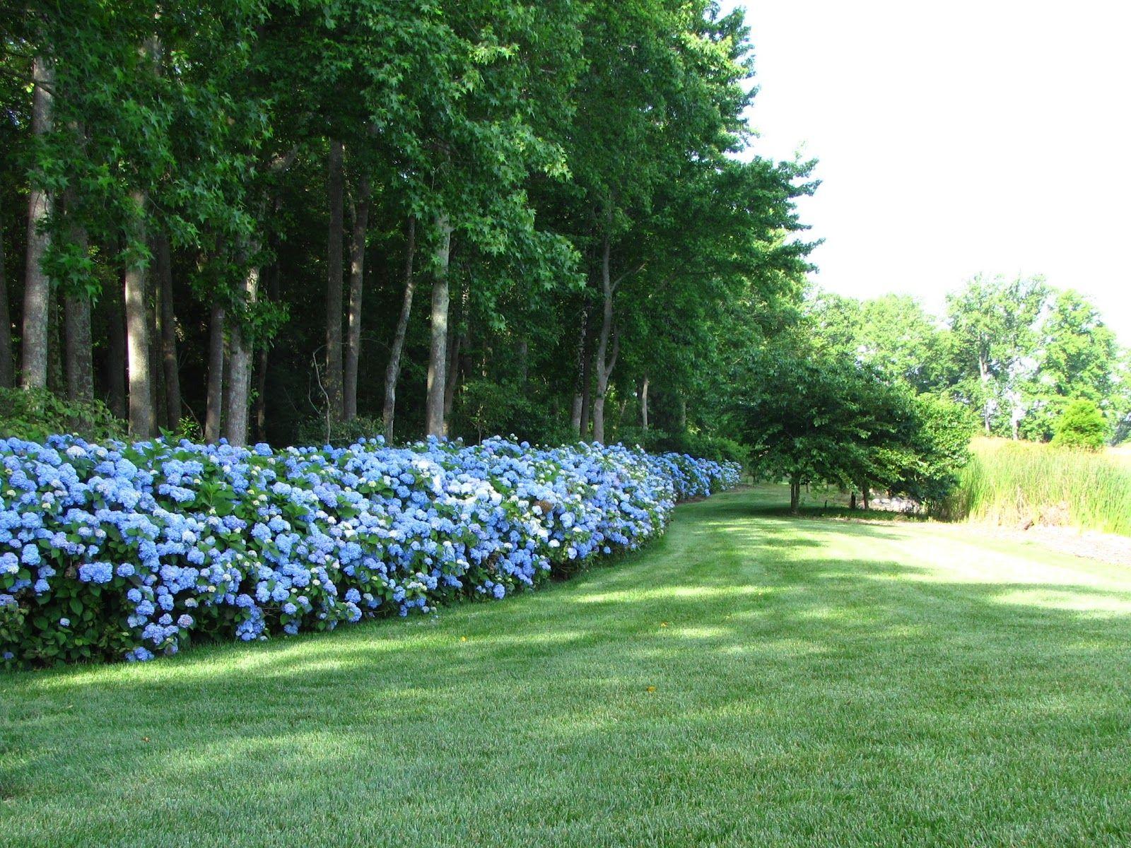 Hydrangea Fence Line Shade Landscaping Garden Shrubs