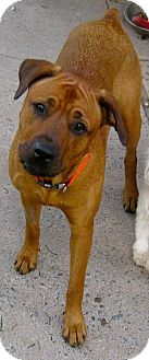 High View Wv Rhodesian Ridgeback Rottweiler Mix Meet Sadie A