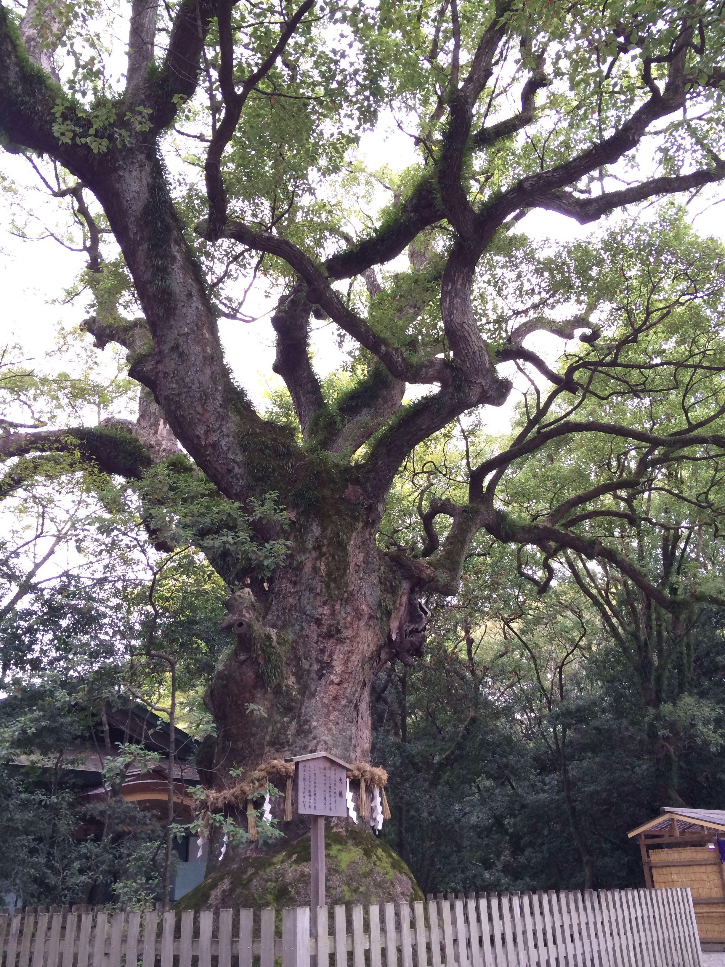over 1000 years old camphor tree