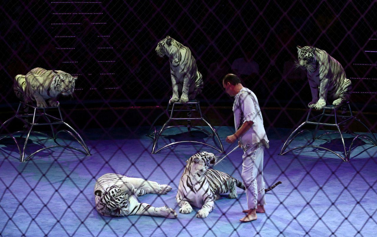 """Tigres, rinocerontes, acróbatas y domadores presentan el nuevo espectáculo """"Los vencedores de la arena"""" en el Circo Estatal de Belarús en Minsk, Bielorrusia. (REUTERS)"""