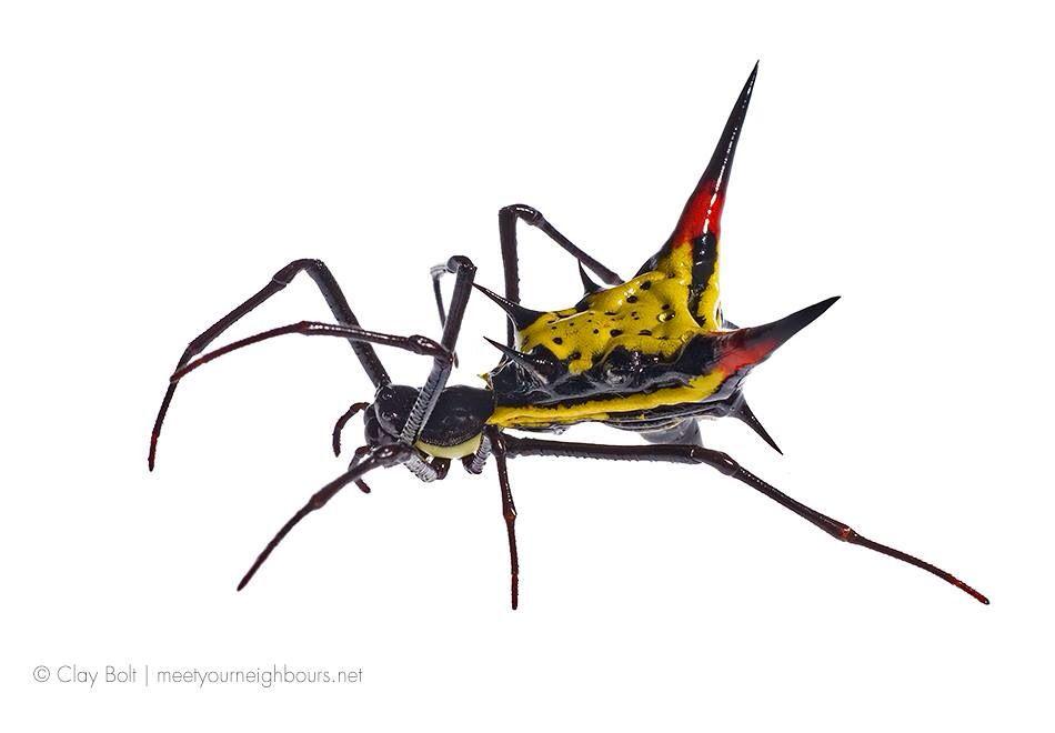 Arrowhead Micrathera spider