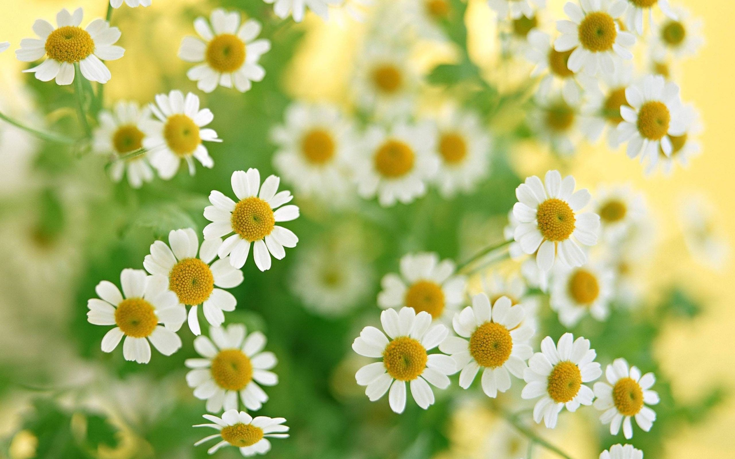 White tag wallpapers black nature flower shines beatiful white photos galleries chamomile white flowers wallpaper uploaded by priya sharma mightylinksfo Image collections