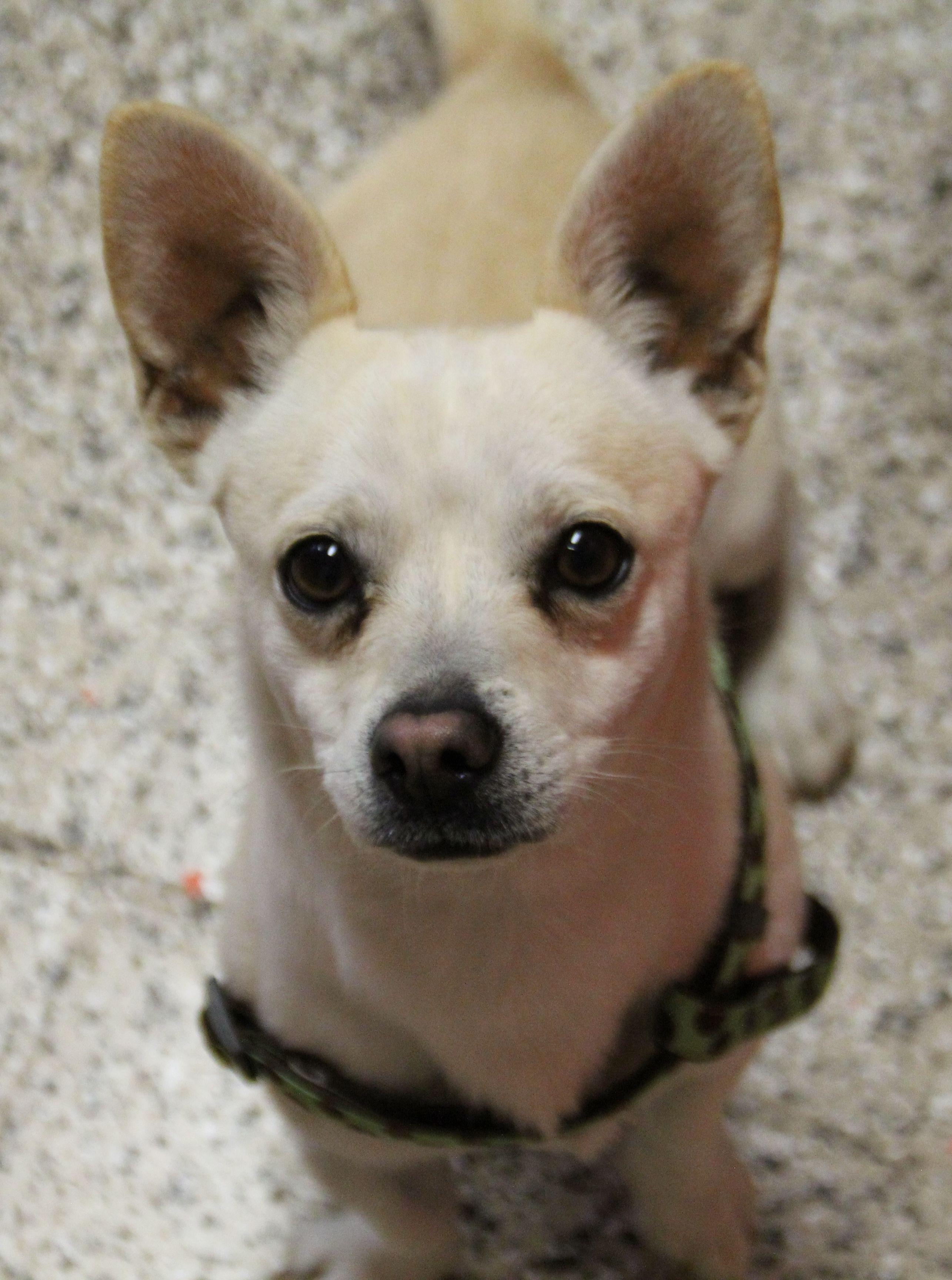 dog for Adoption in phoenix, AZ. ADN474552 on