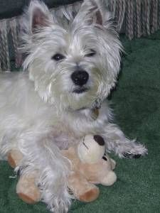 West Highland White Terrier Male Cutest Dog Ever West Highland White Terrier Pets