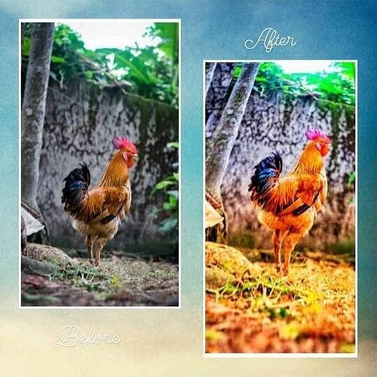 Yay this rooster looks awesome. . . . . . . Copy  #photoediting #photography #photoshop #editing #photo #photooftheday #photographer #photoedit #art #picsart #lightroom #photoshoot #edit #edits #like #photoedits #photoeditor #instagram #instagood #digitalart #follow #graphicdesign #photomanipulation #photoeditingapps #creative #model #love #retouching #portrait #bhfyp