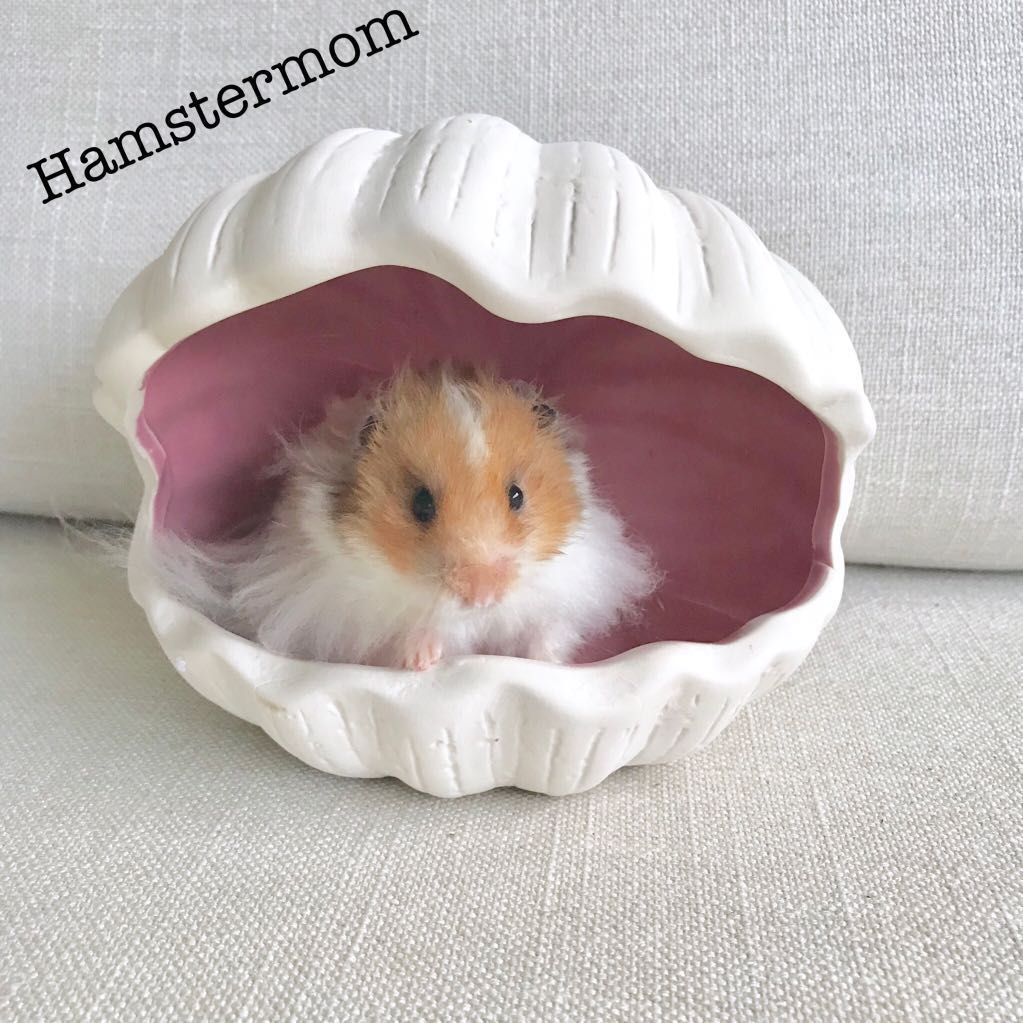 Buy Syrian Hamster Clam Shell Ceramic Hideout House Toy In Singapore Singapore Ready Stock Brand New Overall Dimensions Syrian Hamster Cute Hamsters Hamster