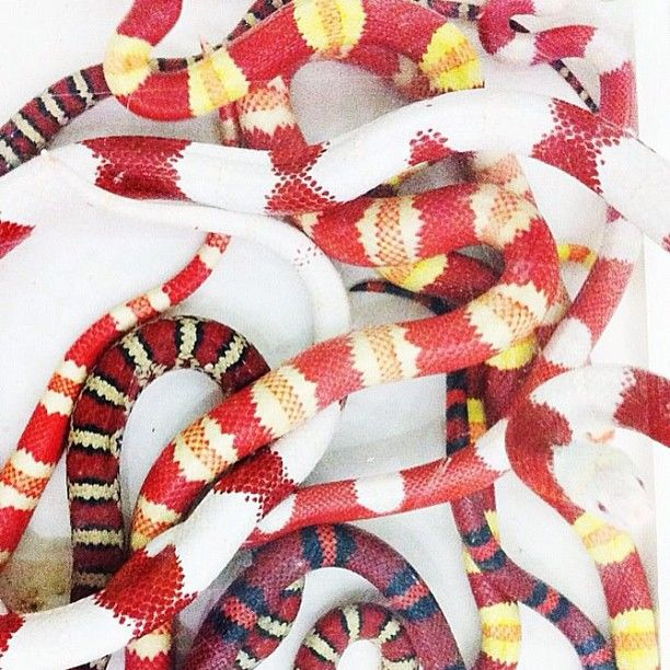 13 Beautiful And Colorful Small Snake Pets Small Snakes Beautiful Snakes Milk Snake