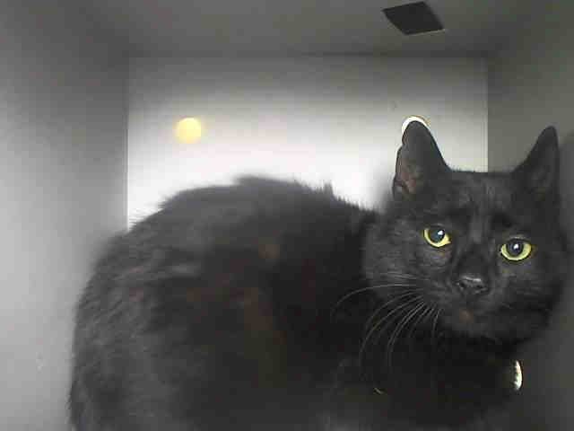 No longer available- URGENT!!! SKY - ID#A0991847  I am an unaltered male, black Domestic Shorthair mix.  The shelter staff think I am about 7 years old.  I weigh 8 pounds.  I was found in NY 11413.  I have been at the shelter since Feb 17, 2014.  This information is 1 hour old.  www.PetHarbor.com pet:NWYK.A0991847