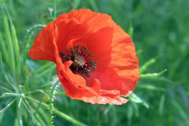Oriental poppy flowers are the focal point in the garden when they oriental poppy flowers are the focal point in the garden when they are in full bloom mightylinksfo Image collections