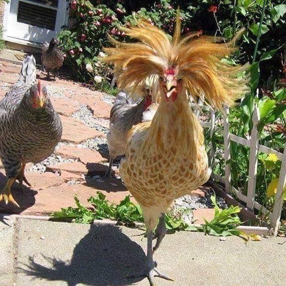 We Re Gonna Build A Hen House I Build The Best Hen Houses And We Re Gonna Make The Foxes Pay For It Images Droles Humour Images Droles Blague Devinette