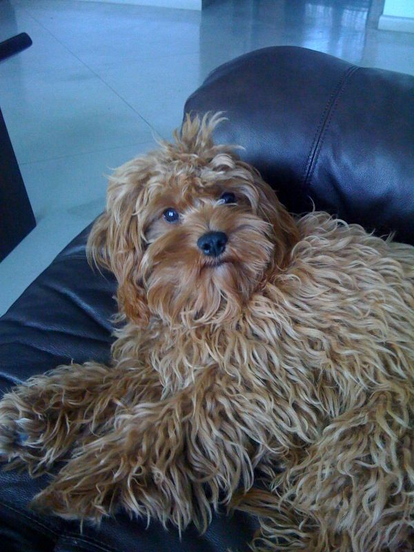 Adult cavapoo. If I let Filbeys hair grow out. wow