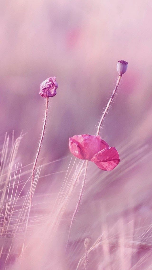 Rose Violet Flower Fields Fonds D Ecran Iphone 5 Fond D Ecran Campagne Fond D Ecran Violet Fond D Ecran Fleur Rose
