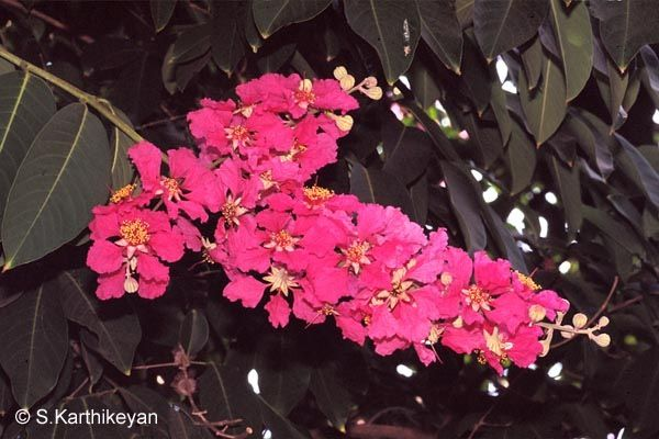 Lagerstroemia Name Queen's Flower
