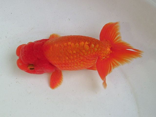 Image from http://image.ec21.com/image/chanita/oimg_GC00765612_CA00768153/Tropical_Goldfish_-_Ranchu.gif.