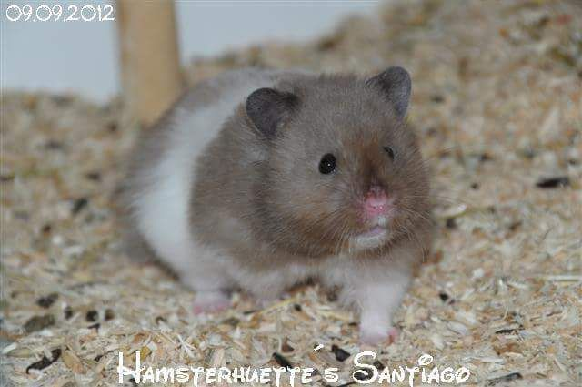 Facebook Syrian Hamster Small Pets Hamster