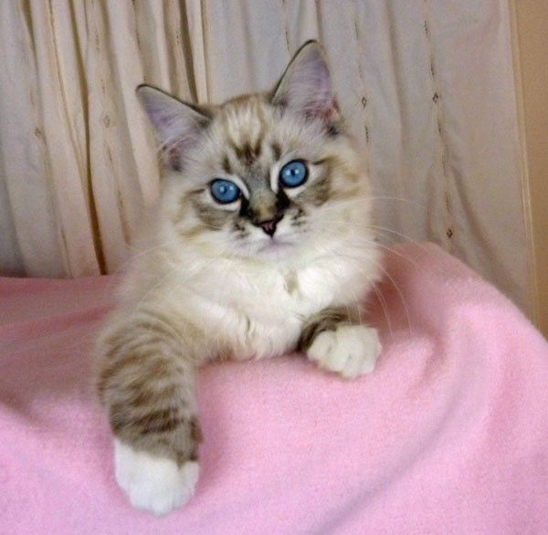Seal Lynx Mitted Ragdoll Ragdoll Cat Cats Ragdoll Kitten