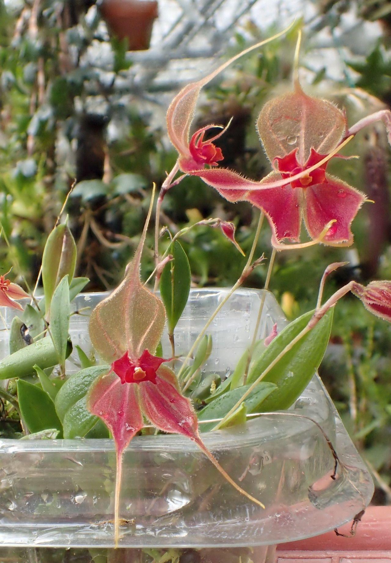 Lepanthes matamorosii october flores pinterest th