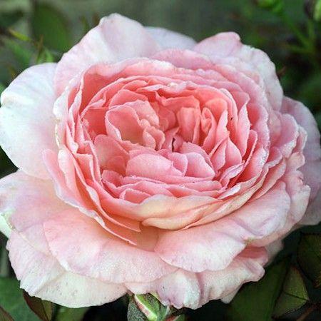 Rosier Liv Tyler Meibacus Rosier Meilland Liv Tyler Rose Climbing Roses