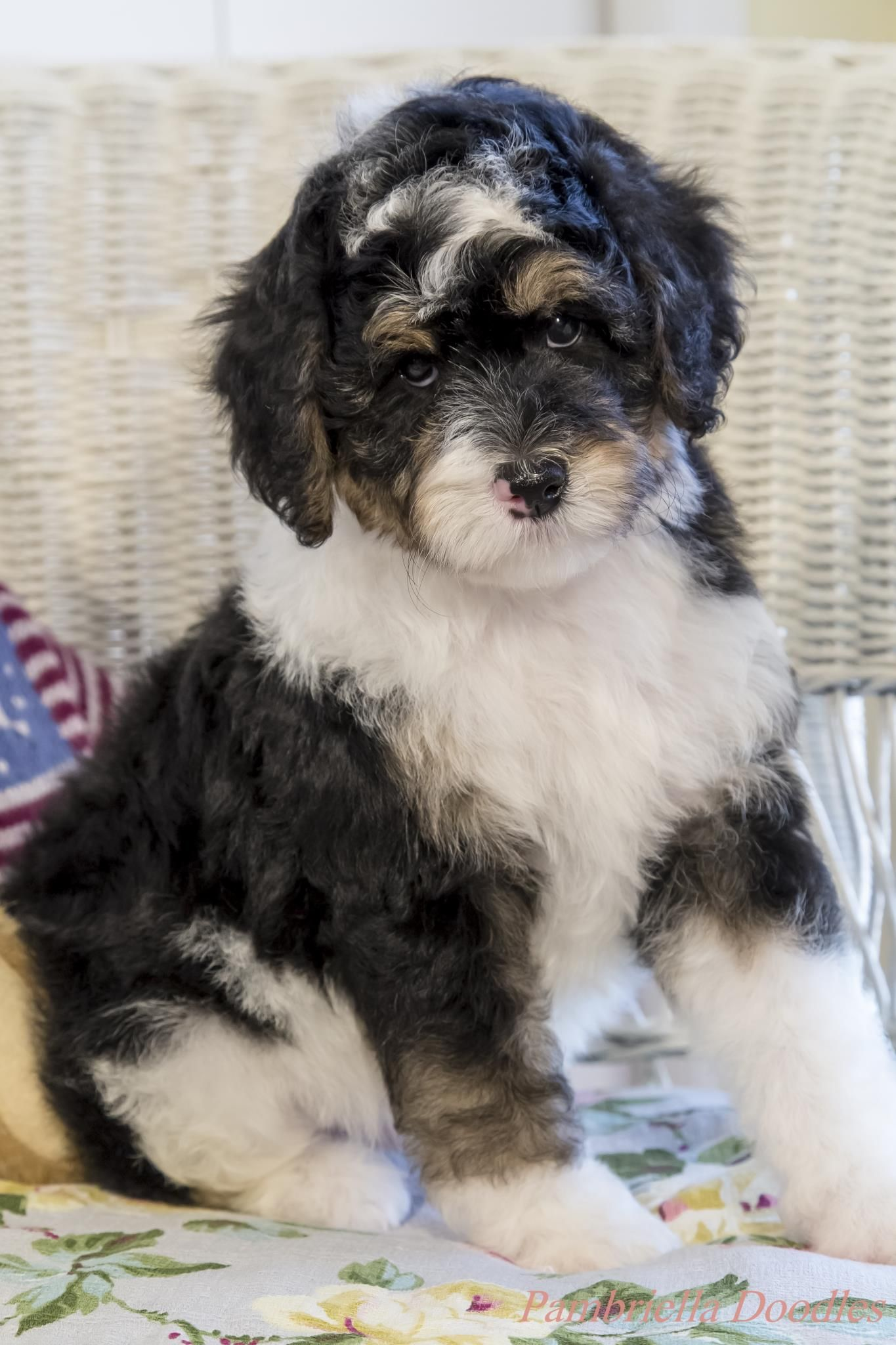 Bernedoodle Facts Dogs I Like Dogs Bernedoodle Puppy