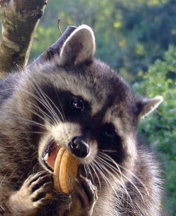 Pin by Red Panda on raccoons | Pet raccoon, Pets, Funny ...