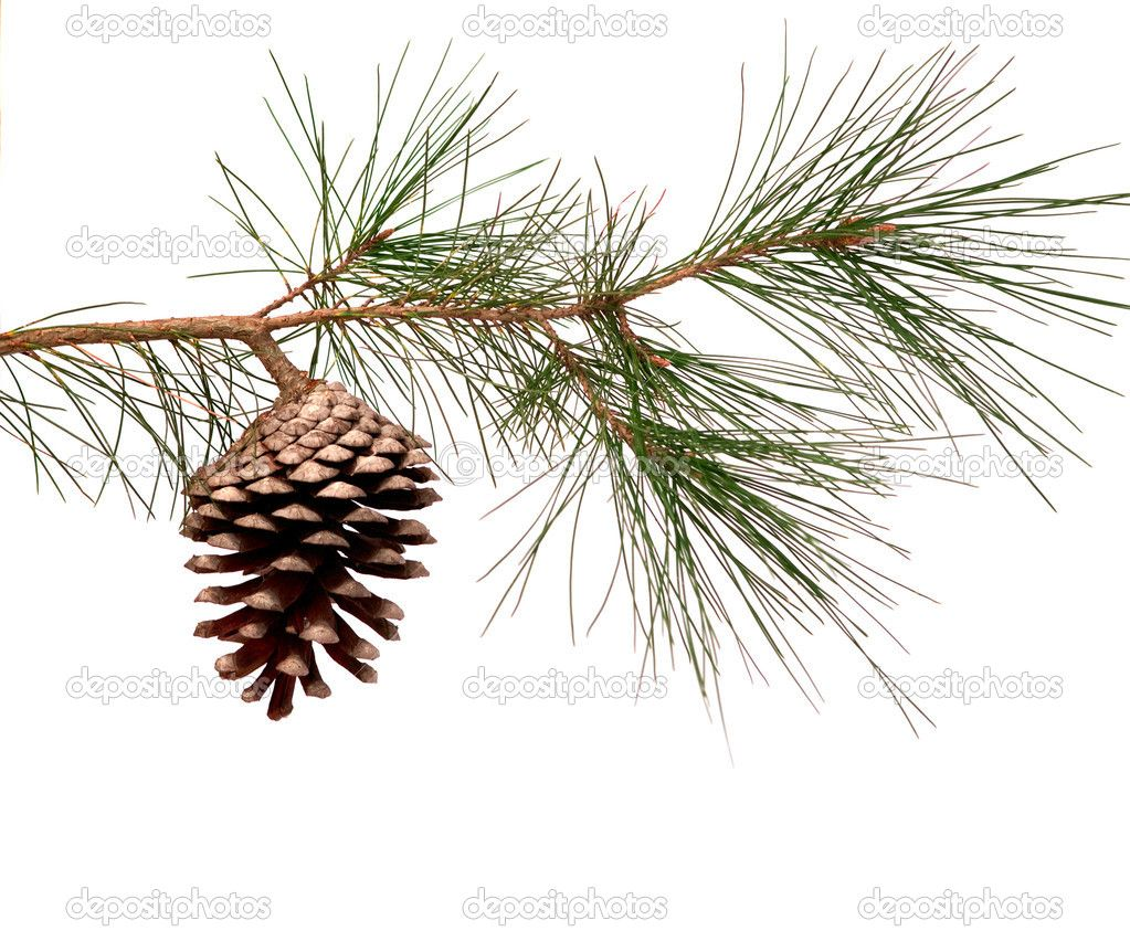 Pine Branch With Cone Pine Tree Painting Tree Painting Pine Tree Drawing