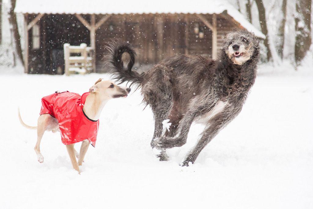 Sam And Duc Irish Wolfhound Wolfhound Deerhound