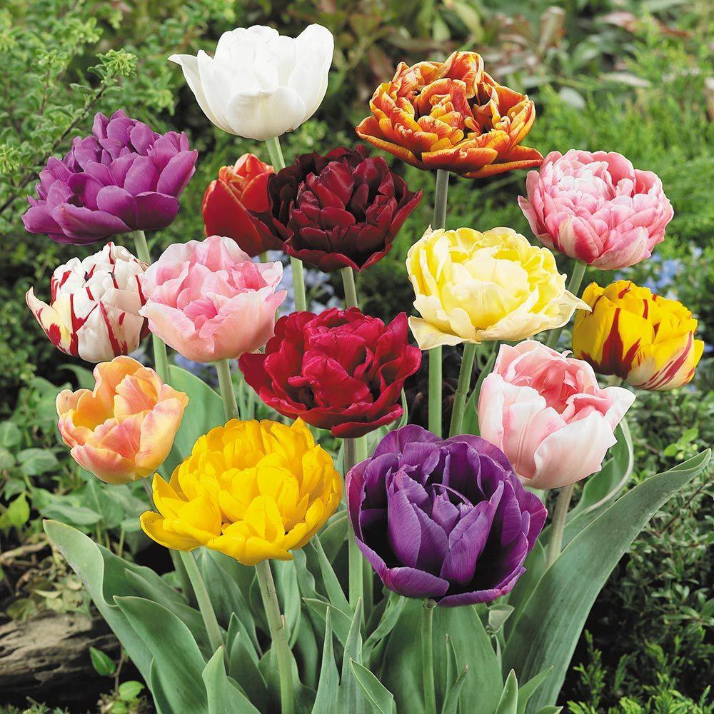 Shop Double Late Tulips Mixed J Parker Dutch Bulbs