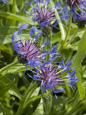 Perennial Results Plant View Centaurea Montana Blue Plants Bachelor Button Flowers Perennials
