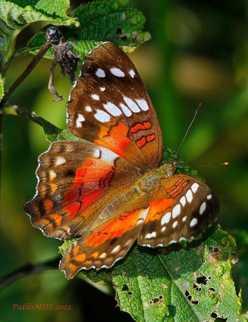 Scarlet Peacock - Anartia Amathea Butterfly