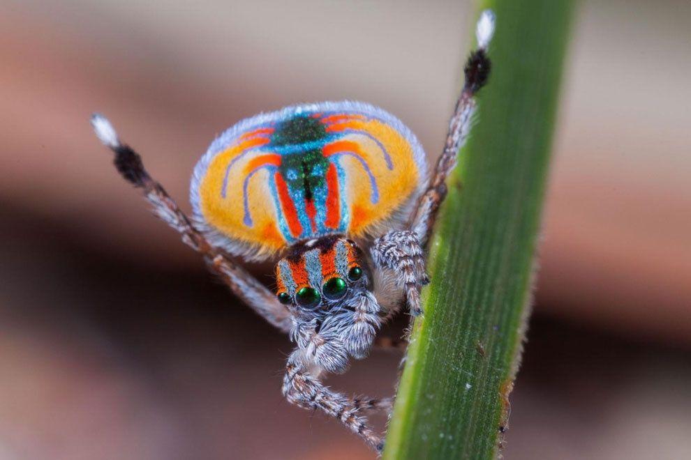「孔雀グモ(写真はMaratus volans)」のオスは、メスとつがうために命...
