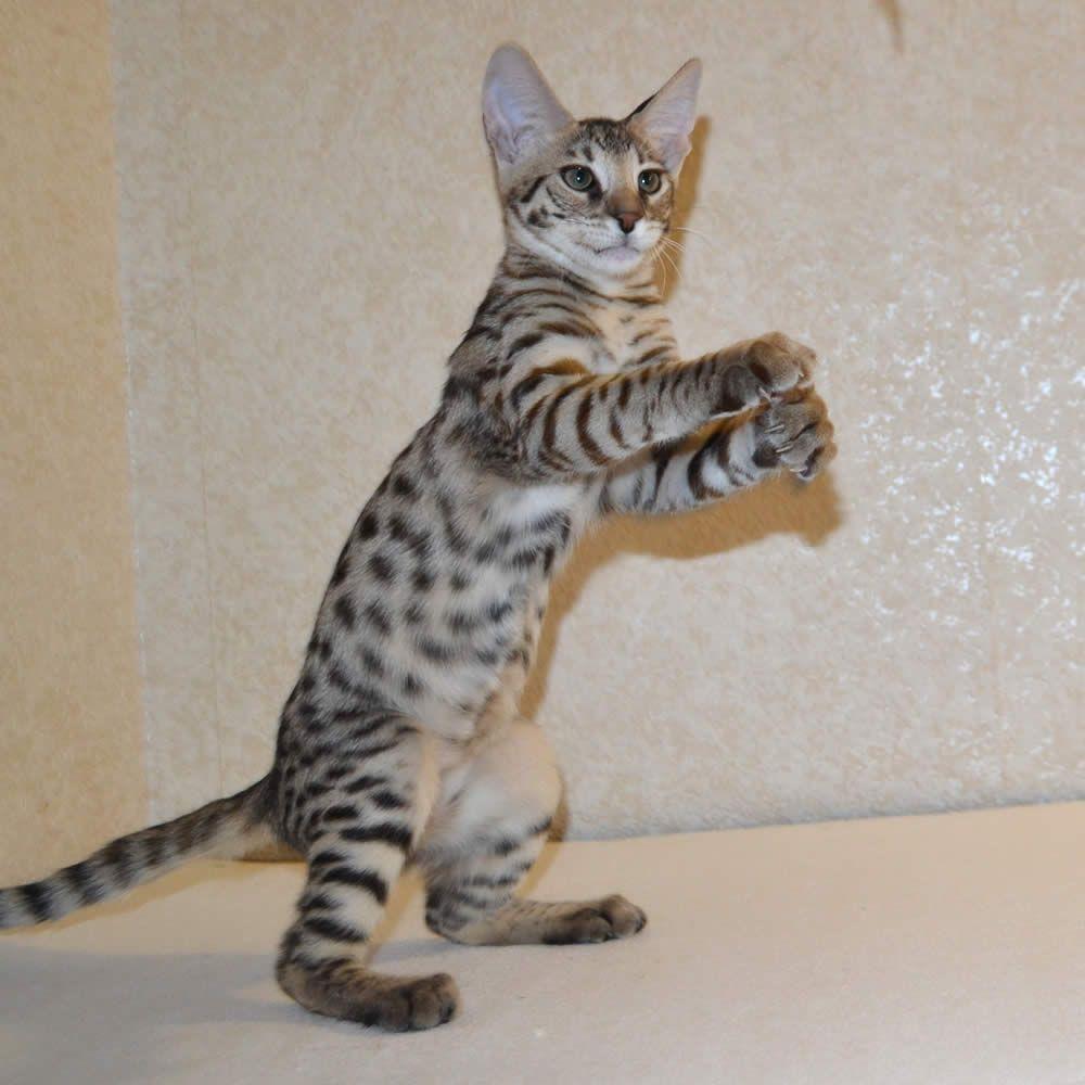 Savannah kitten clapping hands | Savannah Kittens Pictures ...